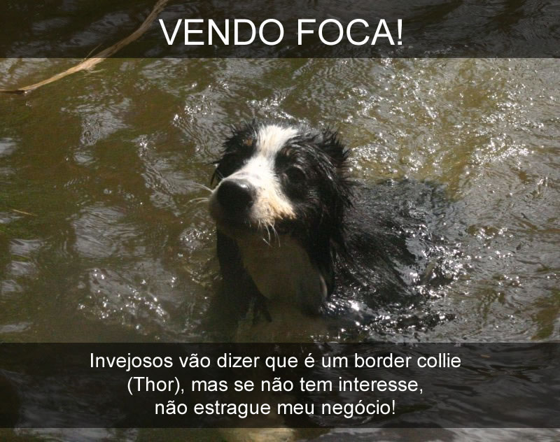 Thor - border collie - foca