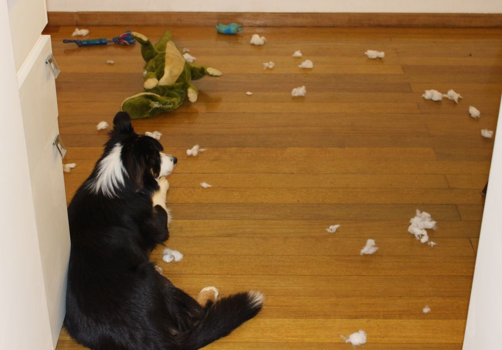border-collie-destruiu-o-bicho-de-pelucia