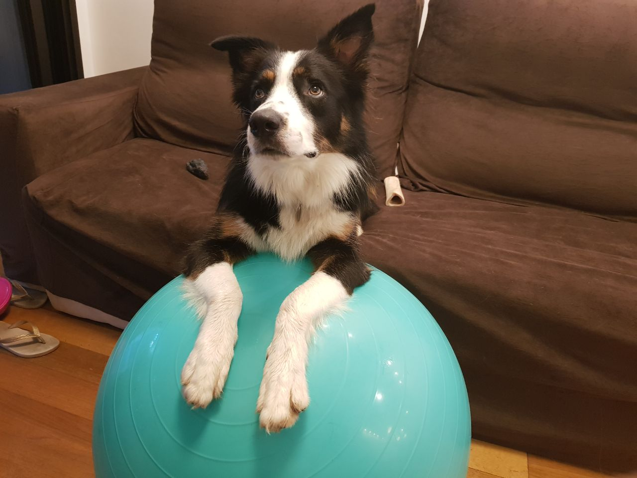 border collie RJ - Thor
